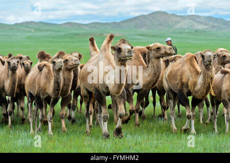 Herd of Bactrian camels (Camelus bactrianus) roaming in the Mongolian steppe, Mongolia - Stock Photo