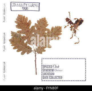Herbarium pressed branch, leave and flower tree oak isolated on white - Stock Photo