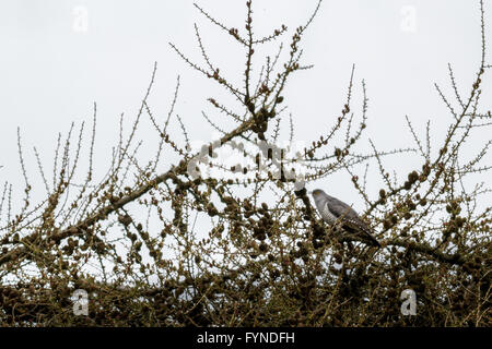 Cuckoo calling for a mate from a tree top on Burley Moor, Yorkshire, UK - Stock Photo