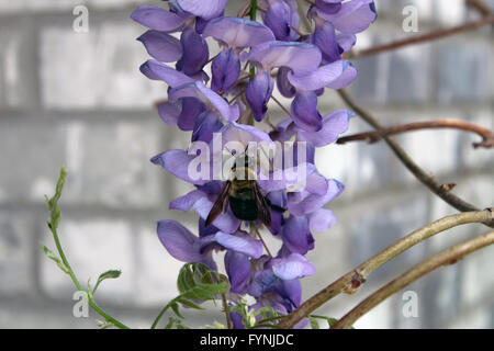 Bumble bee sitting on a purple flower - Stock Photo