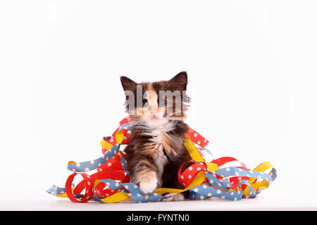 Norwegian Forest Cat. Kitten (6 weeks old) sitting among multicolored paper streamers. Studio picture against a white background. Germany