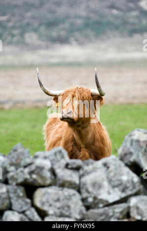 Highland cow looking over wall, taken in Glen Cassley, Sutherland, Scotland - Stock Photo