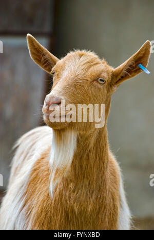 Golden Guernsey goat which is a rare breed of goat from the Bailiwick of Guernsey on the Channel Islands. - Stock Photo