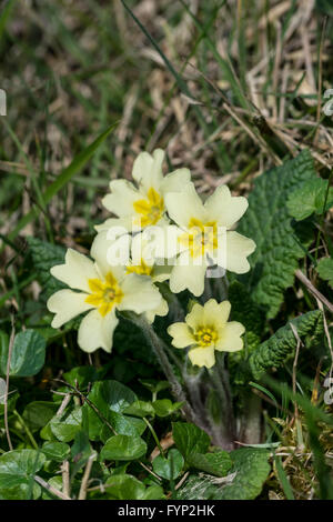 Wild Primrose Primula vulgaris growing on the roadside banking in North Wales. - Stock Photo