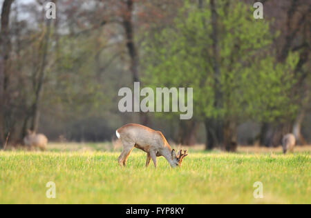Roe deer, grazing in a field on early spring morning - Stock Photo