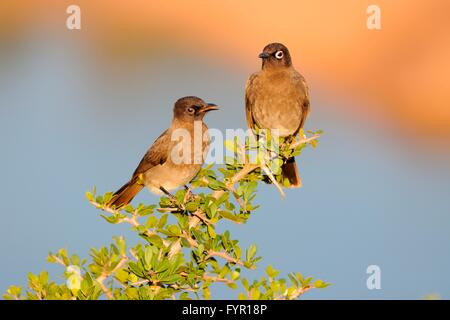 Two Cape Bulbuls (Pycnonotus capensis), perched on a branch, juvenile on the left, Addo Elephant National Park, - Stock Photo
