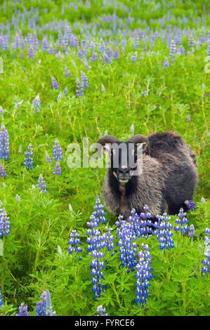 Sheep Iceland - Stock Photo