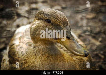 Female duck - Stock Photo