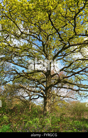 Stood looking up into the branches of a grand and beautiful Oak tree with those lovely new growth lime coloured - Stock Photo