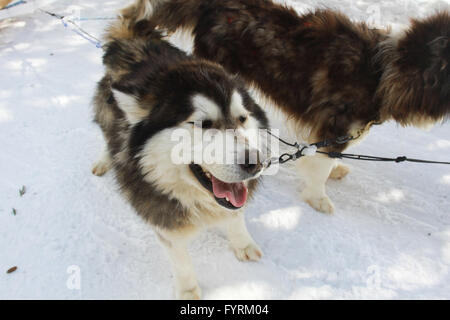 A dog sledding camp in Plessisville, Quebec. Canada. - Stock Photo