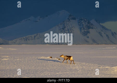 Reindeer (Rangifer tarandus) without antlers foraging in snow covered winter landscape, Iceland - Stock Photo