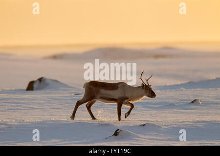 Reindeer (Rangifer tarandus) foraging in snow covered winter landscape at sunset, Iceland - Stock Photo