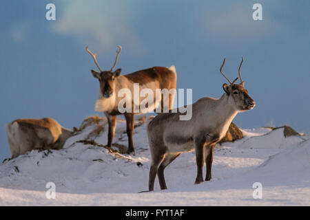 Three reindeer (Rangifer tarandus) foraging in snow covered winter landscape, Iceland - Stock Photo