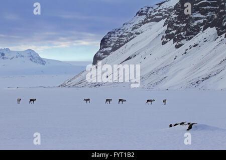 Reindeer (Rangifer tarandus) herd foraging in snow covered winter landscape, Iceland - Stock Photo