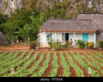 Tobacco farm, Vinales Valley, Cuba. The tobacco plants are growing in the foreground and the farmhouse is in the - Stock Photo