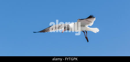 Laughing Gulls looking for handouts from Galveston-Bolivar ferry passengers. - Stock Photo