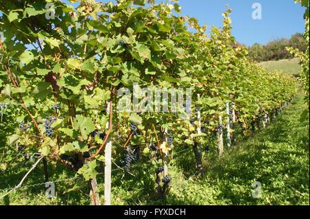 Vitis vinifera Dornfelder, Grape vine - Stock Photo