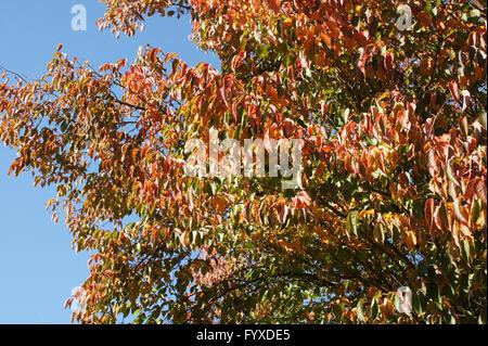 Prunus sargentii, Japanese hill cherry - Stock Photo