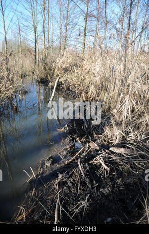 Castor fiber, Beaver, Dam - Stock Photo