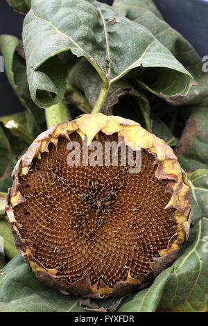 Close up image of empty sunflower seed crown - Stock Photo