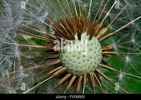 Detailed View of Dandelion Seed. - Stock Photo