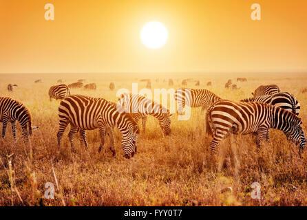 Zebras herd on savanna at sunset - Stock Photo