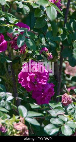Rose, Rosa  ROSERAIE DE L'HAY ,  hybrid rugosa, - Stock Photo