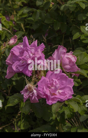Rose, Rosa , BELLE POITEVINE, Hybrid  rugosa, - Stock Photo