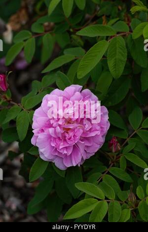 Rose,Rosa THERESE BUGNET, Rugosa, - Stock Photo