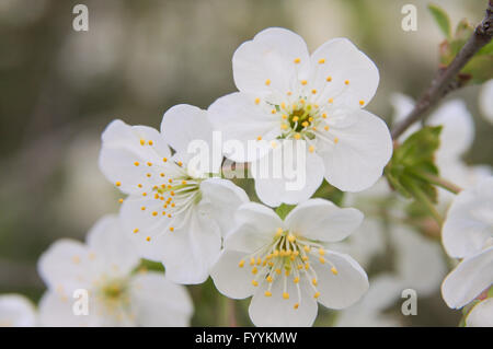 Sour cherry flowers, spring garden all in blossom - Stock Photo