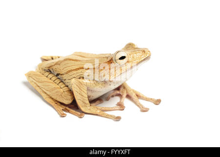 File-eared Tree Frog, Polypedates otophilus, SE Asia (captive) - Stock Photo