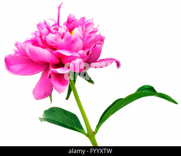 Pink flower peony isolated on white - Stock Photo