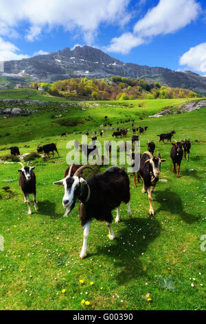 goats near the Aldamin mountain - Stock Photo