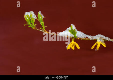Single branch of snow covered yellow flowering forsythia in spring, on red background - Stock Photo