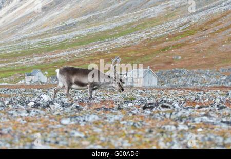 One reindeer walking through the rocks at Ingeborgfjellet on Spitsbergen in Svalbard - Stock Photo