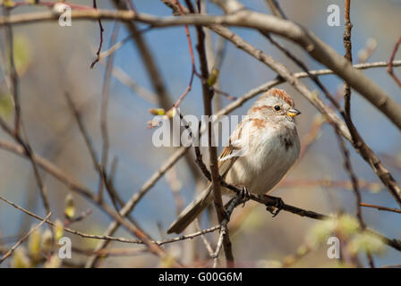 A migrating American tree sparrow, Spizella arborea, sitting in a willow tree in the Lois Hole Provincial Park, - Stock Photo