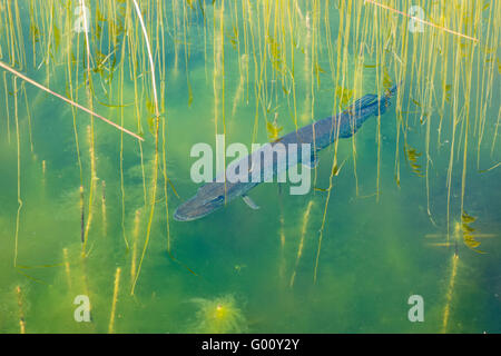 Northern Pike (Esox lucius) in lake, Waterbeach, Cambridgeshire, England - Stock Photo