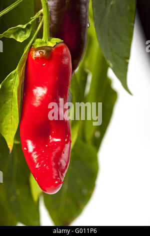 red hot chili peppers on a tree - Stock Photo