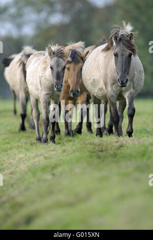 Wildhorse-Duelmen, Germany - Stock Photo