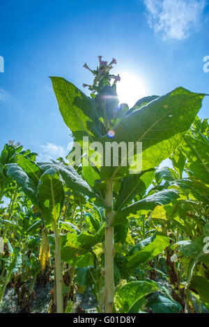 Tobacco flowers against a blue sky. - Stock Photo