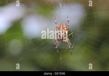 Cross orbweaver (Araneus diadematus) sitting in its web, seen from below. - Stock Photo