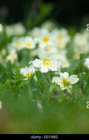 Primula vulgaris. Wild Primrose flowers - Stock Photo