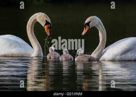 pair of swans with three cygnets in a family unit - Stock Photo