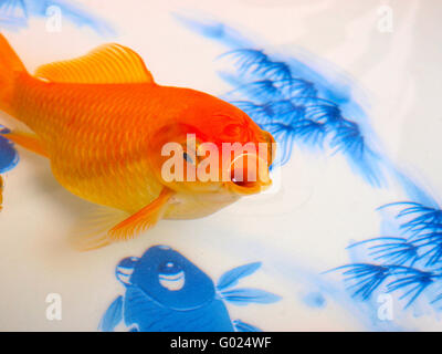 Goldfish in a Chinese ceramic bowl - Stock Photo