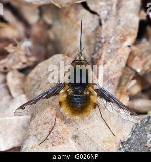 large bee fly (Bombylius major) - Stock Photo