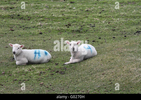 Lambs on Arranmore Island, County Donegal, Ireland. - Stock Photo
