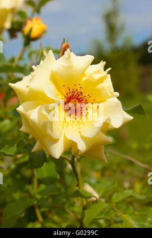 Garden Yellow Rose on green background - Stock Photo