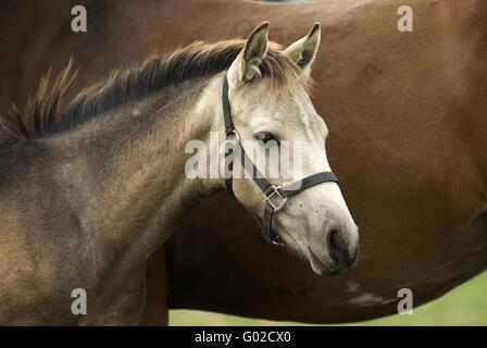 foal, stallion - Stock Photo