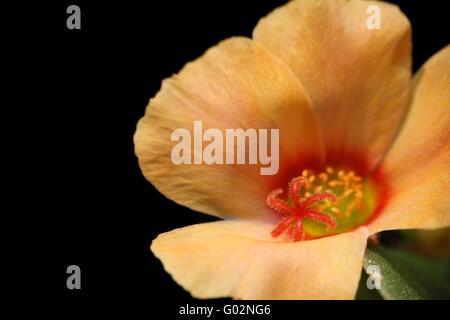 moss rose portulaca oleracea stock photo 103323029 alamy. Black Bedroom Furniture Sets. Home Design Ideas