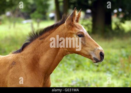 Foal head study - Stock Photo
